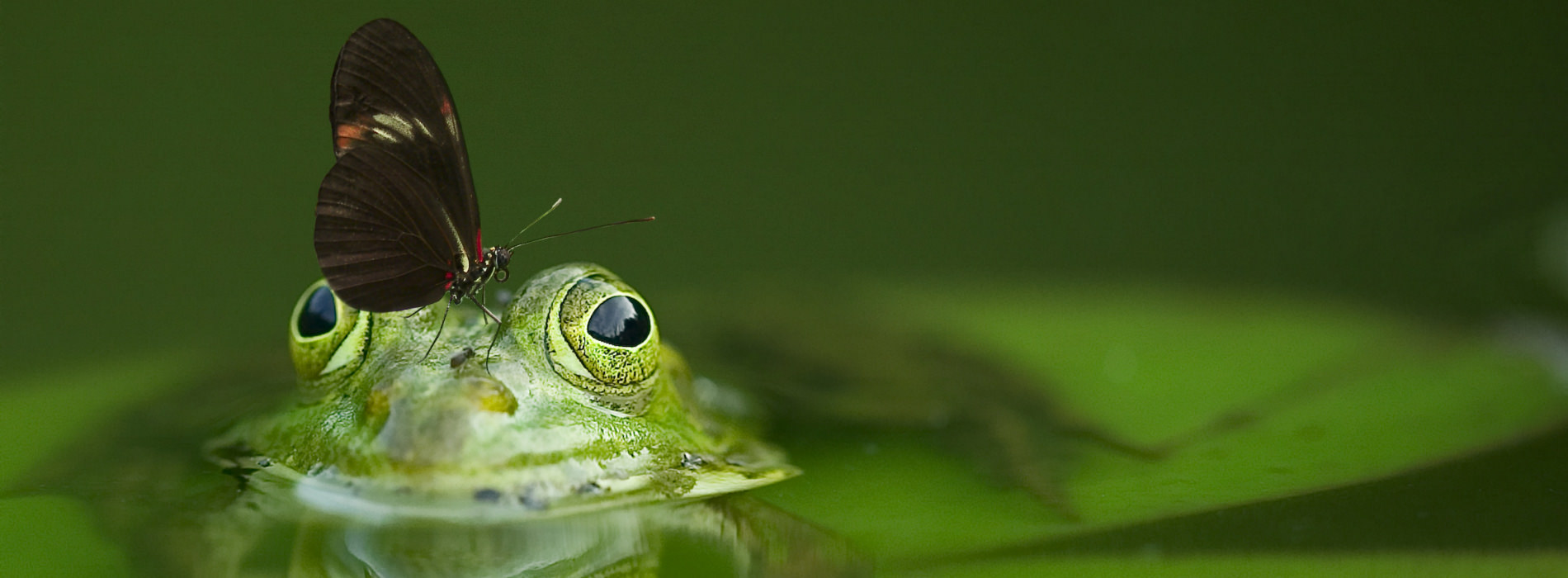 A butterfly perches atop the head of a partially-submerged frog