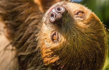 Sloth hanging upside down