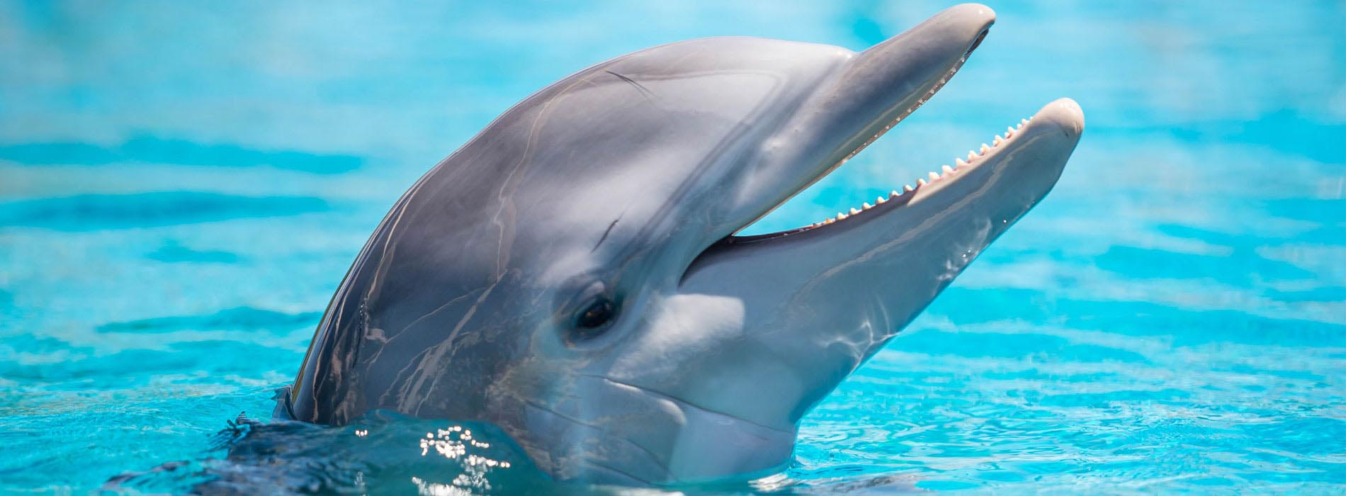 从水中升起的宽吻海豚