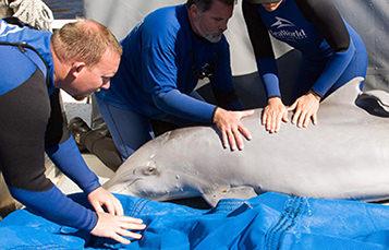 救援过程中宽吻海豚