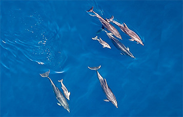 Pod of bottlenose dolphin in the ocean