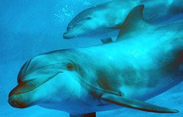 对宽吻海豚