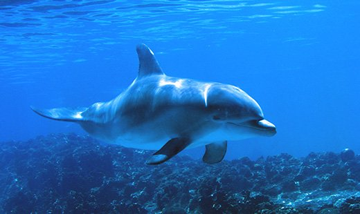 Latin word for dolphin