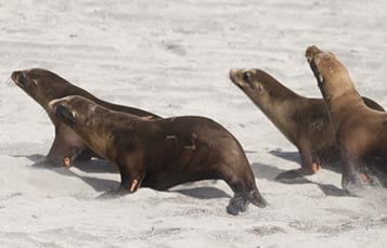 Sea lions running on a beach