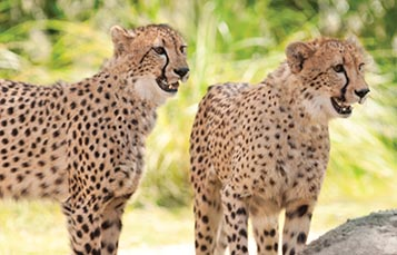 Two cheetahs in the shade