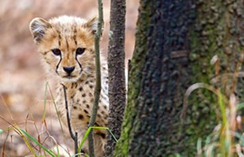 Young cheetah peeking around a tree