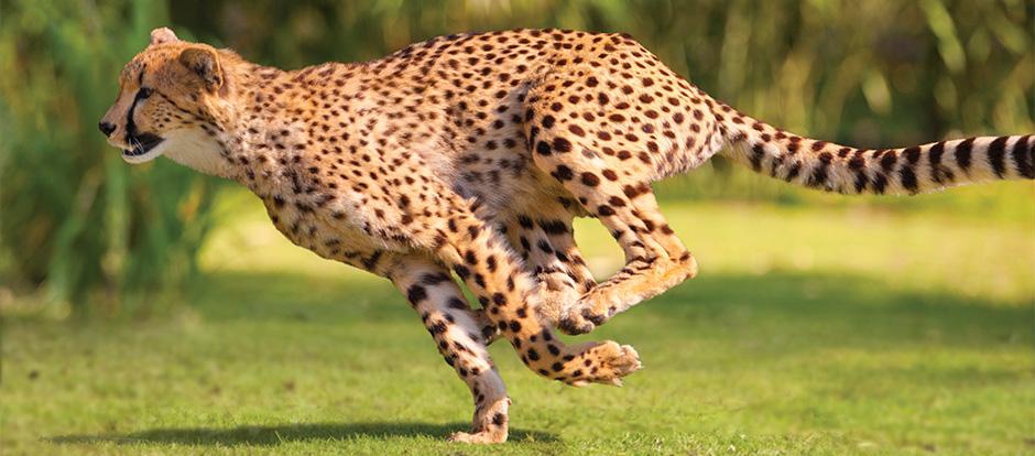 How does a cheetahs diet affect their speed?