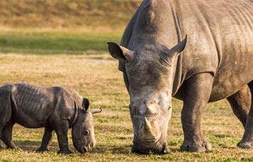 A baby and adult rhino graze