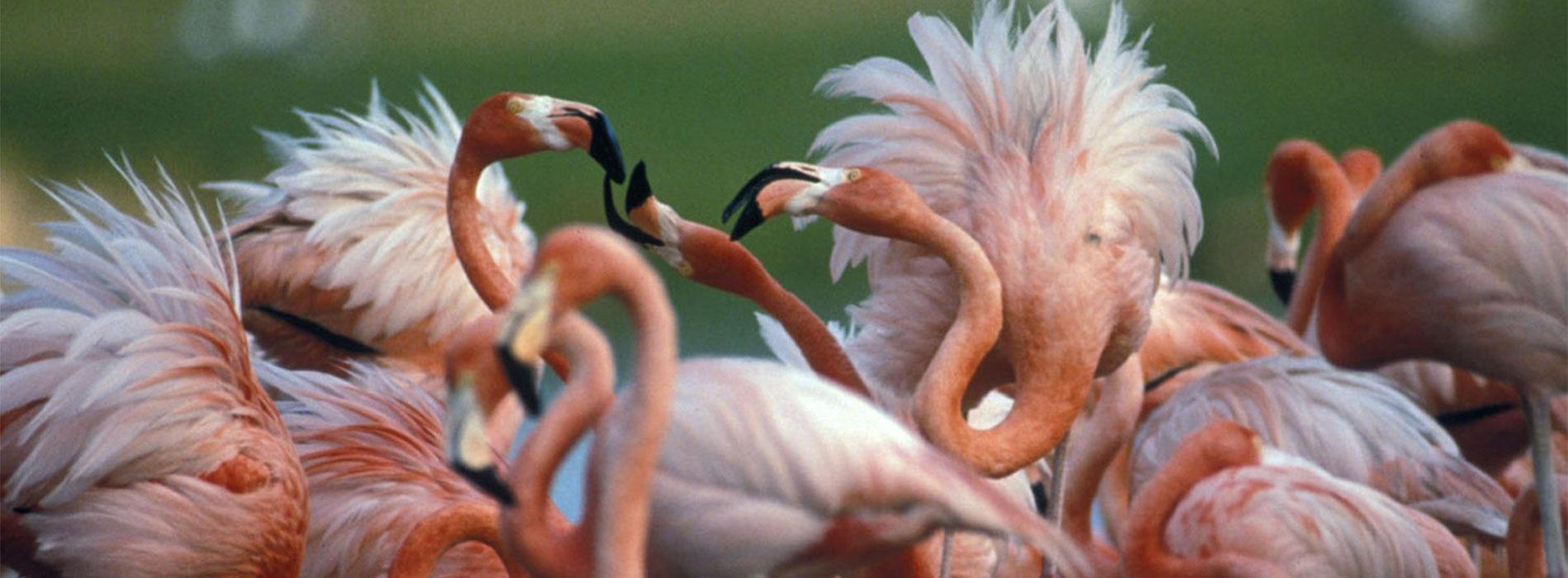 Flamingo fluffed