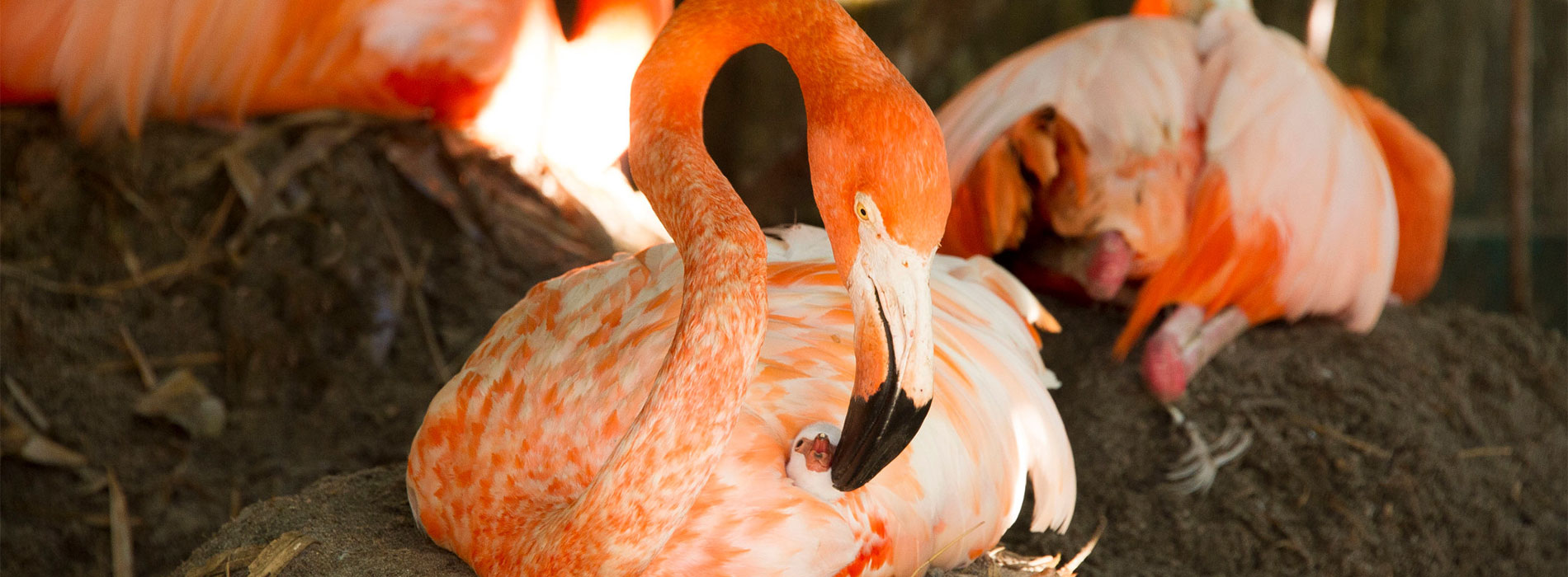 Flamingo nesting
