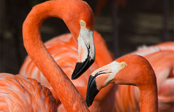 Flamingo faceoff
