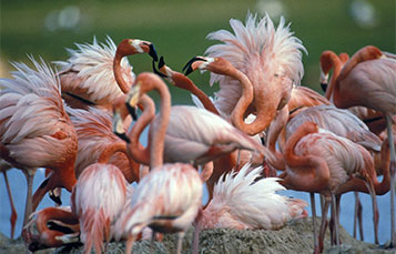 Flamingo fluffed
