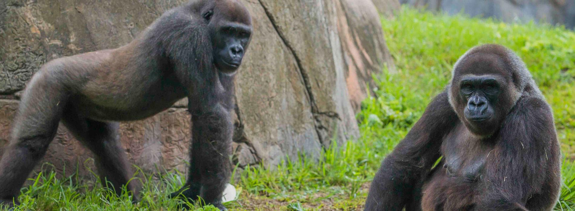 二旁观的大猩猩