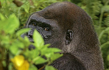 the face of a gorilla is visible, partially obscured by foliage
