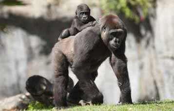 成年大猩猩坐在带宝宝