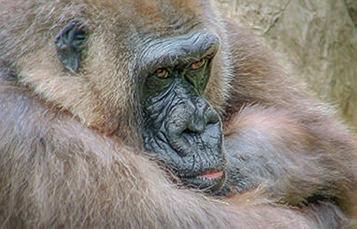 大猩猩的脸的特写照片