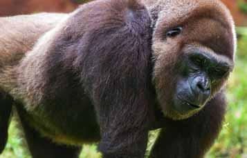 关闭婴儿猩猩的脸了照片
