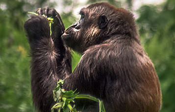 A gorilla holds a plant, preparing to eat