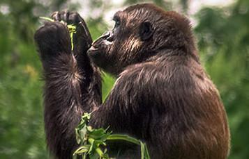 大猩猩拥有工厂,准备吃