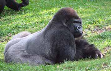 A gorilla lying on its front in grass with head elevated