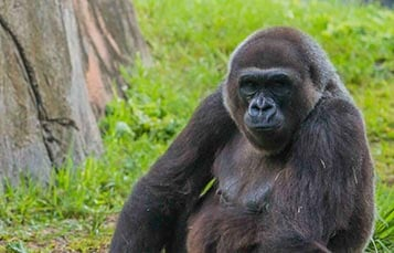 A gorilla sits in a grassy area, looking toward the camera