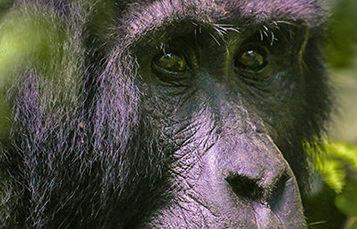 大特写一个大猩猩的眼睛