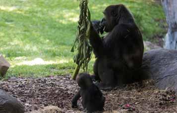 大猩猩旁边的树木。