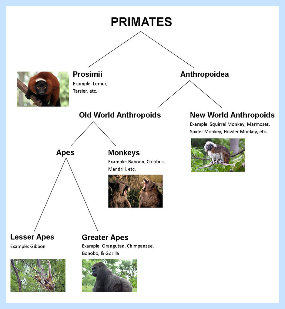 All About the Gorilla - Scientific Classification | SeaWorld Parks &  Entertainment