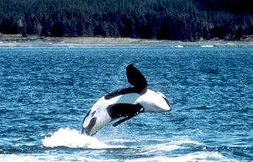 killer whale during breach