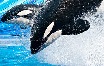pair of killer whales in the water