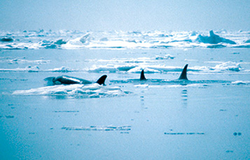 野生虎鲸荚