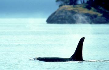 虎鲸背上述水鳍表示