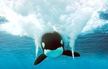 虎鲸游泳的前视图