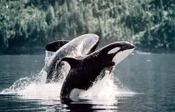 虎鲸喷水孔的俯视图