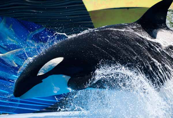 Killer whale doing a bow behavior