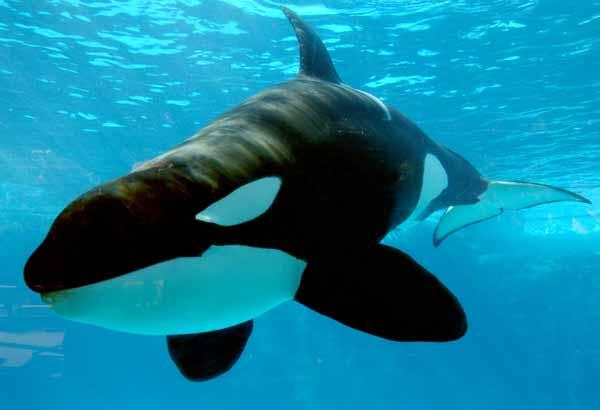 Juvenile killer whale underwater