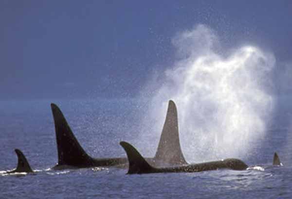 Pod of wild killer whales