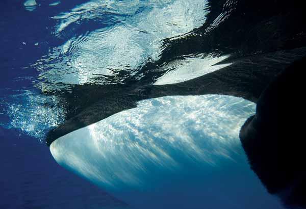 Killer whale under water