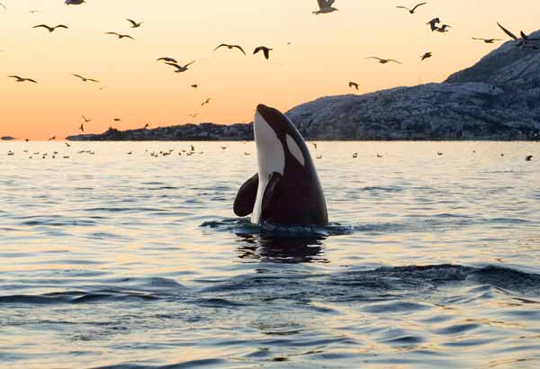 A killer whale spyhops at sunset in Alaska