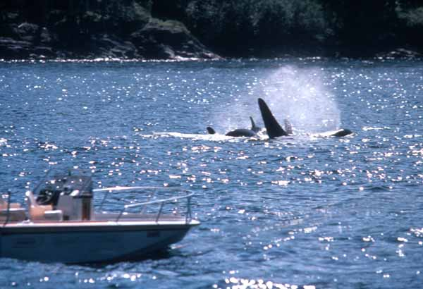 Whale watching boat and breaching killer whale