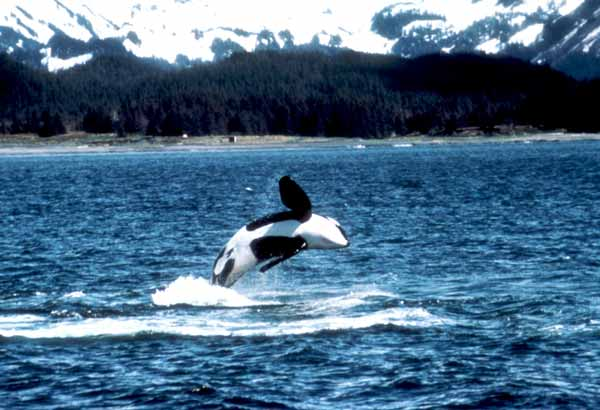 Wild killer whale breaching