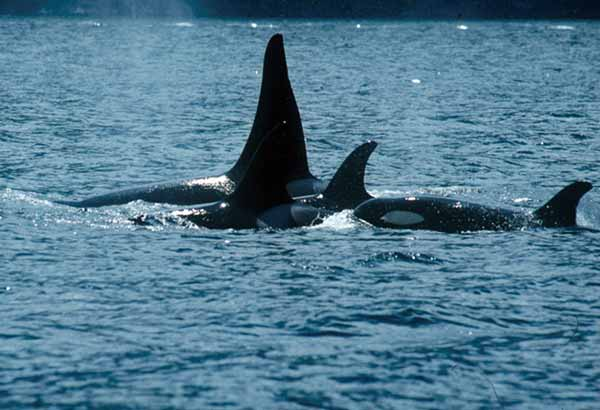 Pod of three killer whales