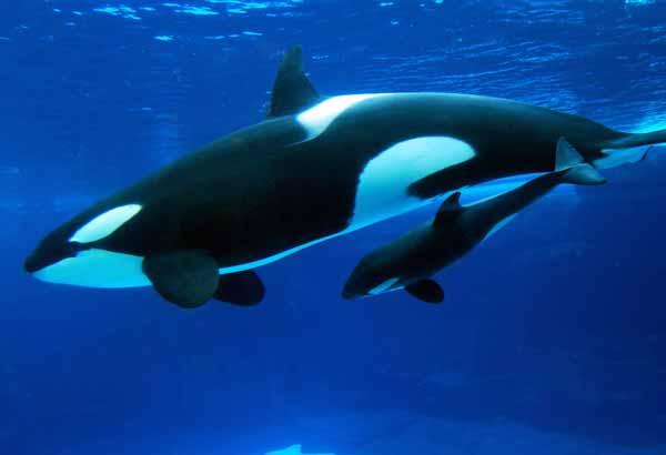 Killer whale calf in mother's slip stream