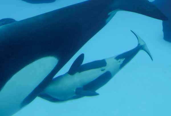 Nursing killer whale calf