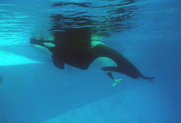 Tail first birht of a killer whale calf
