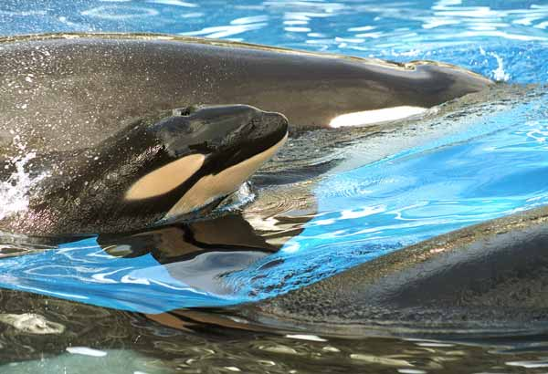 Newborn killer whale calf taking a breath