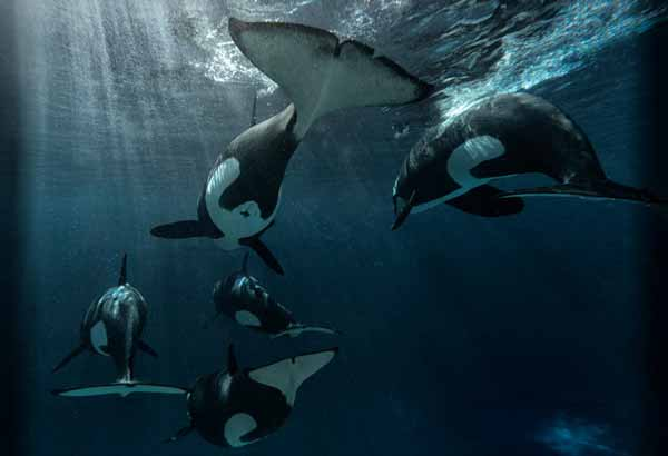 Killer whales swimming away underwater