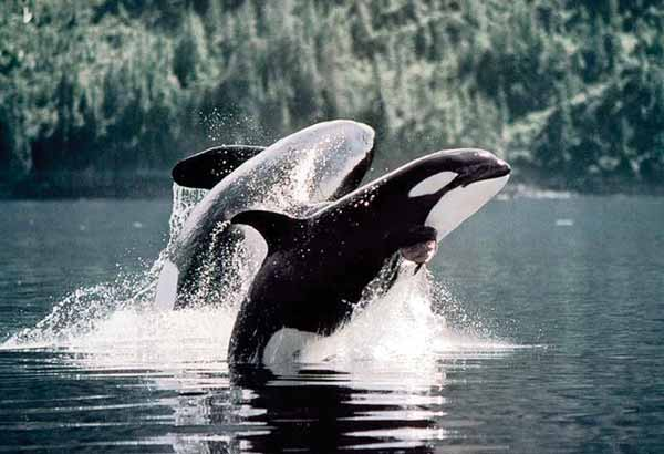 Two breaching wild killer whales