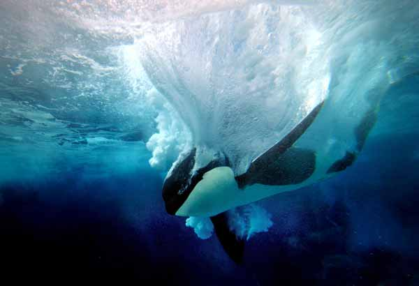 Male killer whale splashing into water