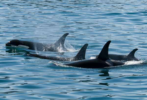 Small pod of wild killer whales